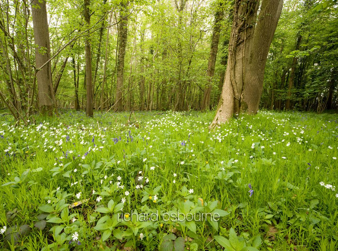 V4W13 Greater Stitchwort, Lower Wood Ashwellthorpe