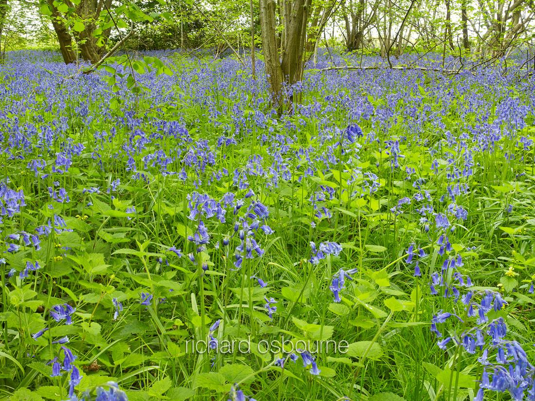V8W9  Bluebells, NWT Wayland Wood, Norfolk, UK