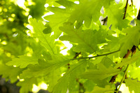 V4D3 Oak Leaves