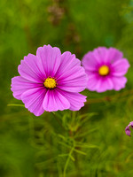 V8FL6  Pink Cosmos Flowers