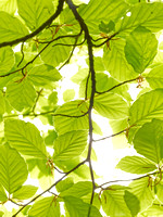 V8BL2  Beech Tree Leaves in Spring