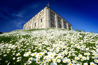 V1N15 Norwich Castle and Oxeye Daisies