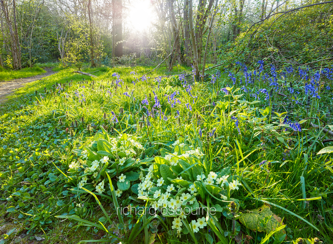 V9W4  Primroses and Bluebells, NWT Wayland Wood, Norfolk, UK