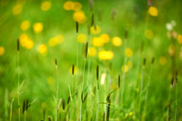 V11D3  Buttercups and Wild Grasses