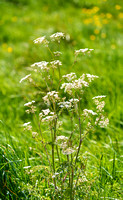 V11W4  Cow Parsley