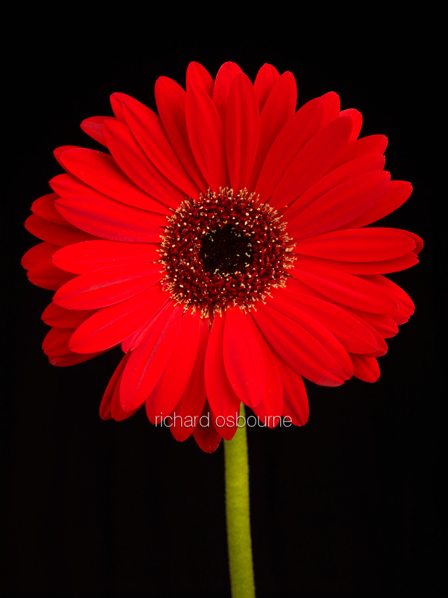 V8FL12  Red Gerbera