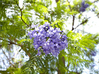 V8FL1  Jacaranda Tree Flowers, Crete, Greece