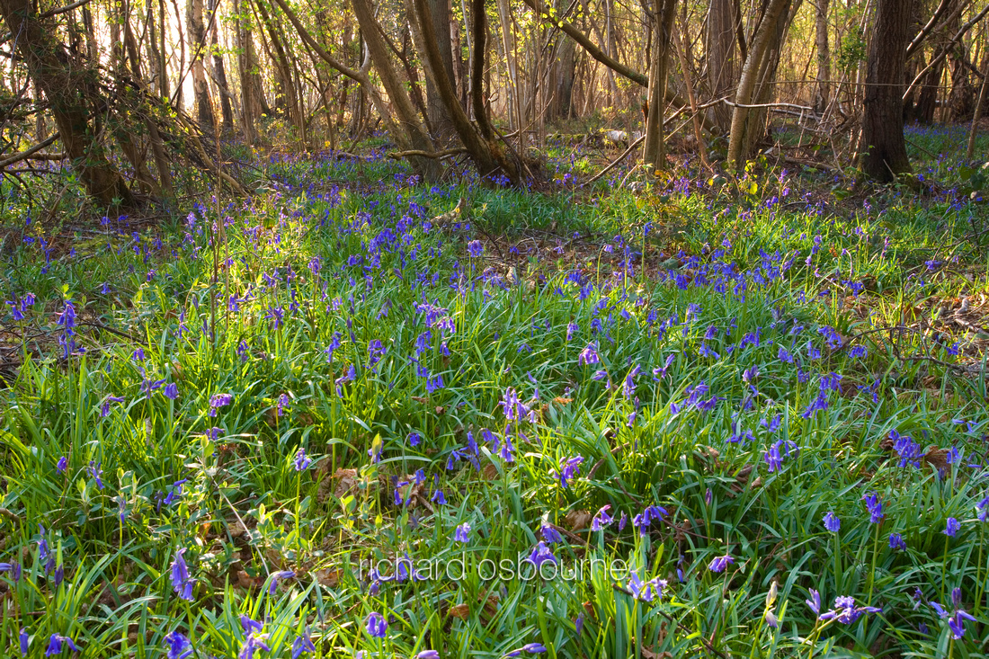 V2L11 Bluebells, Foxley Wood, Norfolk