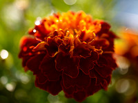 V8FL23  French Marigolds